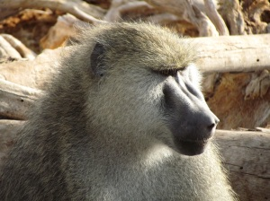An adult male baboon.